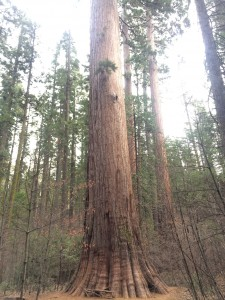This shows the trunk of a giant sequoia from the ground to the first branch