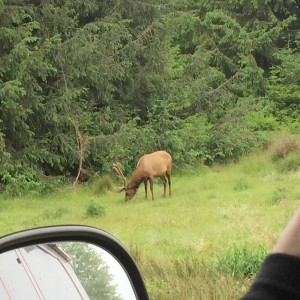 Elk viewed from the van