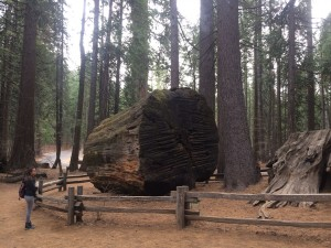 Shows the trunk of the giant sequoia felled to make the dance floor