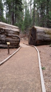 The walking path going through a giant sequoia