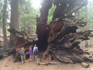 The Thomas kids standing in the root system of a giant sequoia