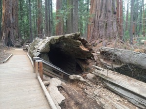 This shows a tree that has been felled that can be walked through in Big Trees State Park